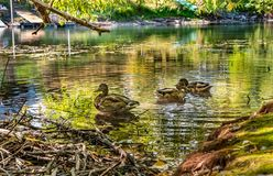 Three Ducks Spend Some Quiet Time on the River of Tranquility. Three of many ducks enjoying the quiet solitude of the Whitefish River in Whitefish, MT royalty free stock photos