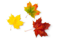 Three maple autumnal leaves. Topview. Laying on a white Royalty Free Stock Images