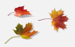 Three maple leaf Royalty Free Stock Images
