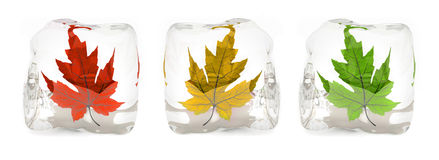 Three maple leafs in the ice cube Stock Photo