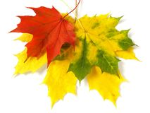 Three maple leaves Stock Photo
