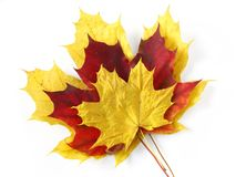 Three maple leaves Royalty Free Stock Photography