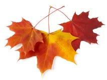 Three maple leaves stock image