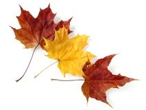 Three maple leaves Stock Images