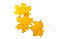 Three maple leaves. Three yellow maple leaves isolated over white background stock images