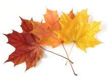 Three maple leaves royalty free stock photos