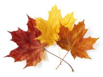 Three maple leaves Royalty Free Stock Images