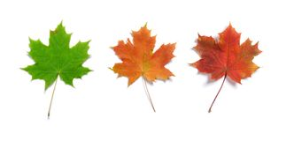Three maple leaves. Set of three maple autumn leaves isolated on white background with light shadow royalty free stock photos