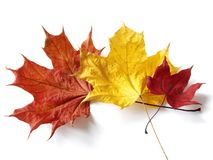 Three maple leaves Stock Image