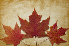 Three Maple Leaves on Gold Grunge Background Stock Photography