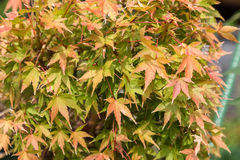 Three maple leaves have changed color in fall. Stock Image