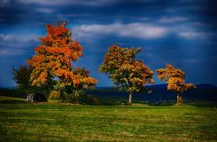 Three maple trees with colored leafs in a meadow at autumn/fall daylight. Stock Photo