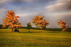 Three maple trees with colored leafs in a meadow at autumn/fall Royalty Free Stock Image