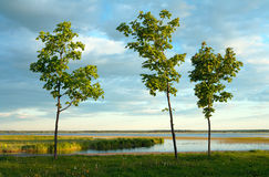 Three maples in evening light. Three maples on the bank of lake in evening light Stock Images