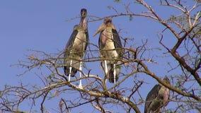Three Marabou stork stock video footage