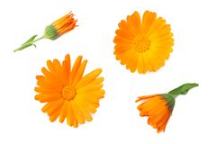 Three marigold flower heads isolated on white background. calendula flower. top view royalty free stock photos