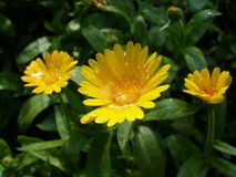 Three marigolds after rain. Three marigold flowers with droplets Royalty Free Stock Image