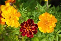 Three marigolds Royalty Free Stock Photography