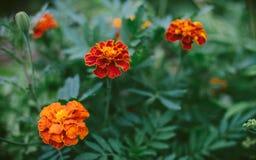 Three Marigolds, orange flower Royalty Free Stock Images