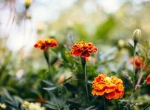 Three Marigolds, orange flower Royalty Free Stock Photos