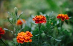 Three Marigolds, orange flower Stock Photography