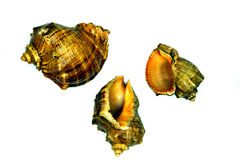Three marine sea shells against a white background Royalty Free Stock Photos