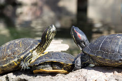 Three marsh turtles Royalty Free Stock Images
