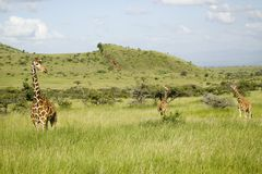 Three Masai Giraffe at the Lewa Wildlife Conservancy, North Kenya, Africa Stock Photos
