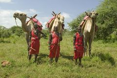 Three Masai Warriors in traditional red toga pose with their camels at Lewa Wildlife Conservancy in North Kenya, Africa Royalty Free Stock Photography