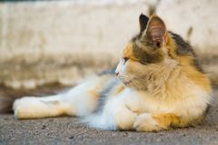 Three-masculine cat lies on asphalt and looks to the left. stock photography