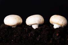 Three mashrooms in the ground. Stock Photos