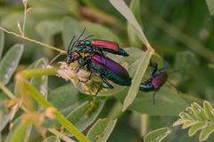 Three Mating Blister Beetles Royalty Free Stock Images