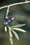 Three mature black olives on a spring Stock Images