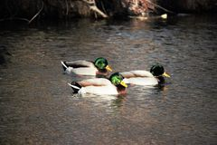 Three mature drake mallards on the Boise river stock image