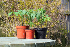 Three mature tomato plants in pots on a table. Royalty Free Stock Photography