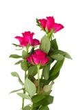 Three mauve rose. S isolated on white background Stock Photos