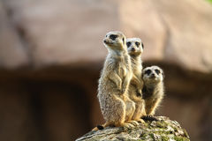 Three meercats on a lookout. On a rock Stock Photos