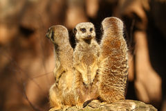 Three meercats on a lookout Stock Photo