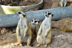 Three MeerCats Standing and Looking for something on the sand royalty free stock photos