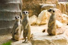 Three Meerkat Royalty Free Stock Images