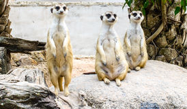 Three meerkat on the rock. Three meerkat are standing and sitting on the rock Royalty Free Stock Image