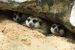 Three meerkat sleep Royalty Free Stock Image