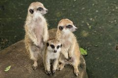 A Close Up Of The Adult Meerkat Stock Photo Image Of Danger