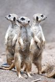 Three Meerkats Royalty Free Stock Photo