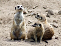 Three meerkats. Image of three meerkats. The meerkat or suricate Suricata suricatta is a small mammal and a member of the mongoose family. It inhabits all parts Royalty Free Stock Images