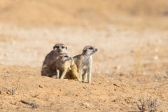 Three Meerkats in desert Royalty Free Stock Photo