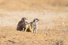 Three Meerkats in desert Royalty Free Stock Photo