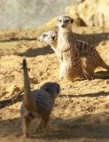 Three Meerkats on Guard duty Royalty Free Stock Photos