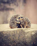 Three meerkats huddle together Royalty Free Stock Images