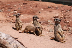 Three Meerkats In A Line And A Little One Royalty Free Stock Photos
